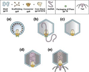 States of phage T3/T7 capsids: buoyant density centrifugation and cryo-EM.